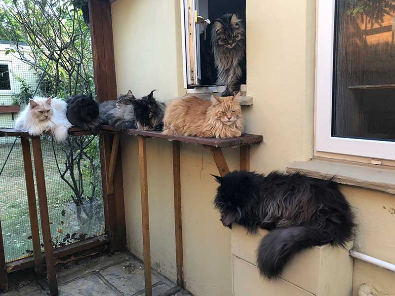 16 Maine Coon cats: A welcoming committee was waiting for us when we arrived at Emma and Warren's home
