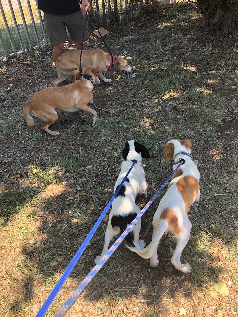 Walking with two sets of playful pups — Faith and Joy, and Gobi and Kia