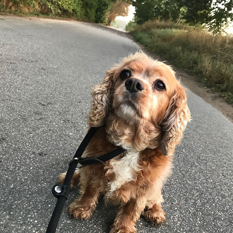 Bennie, a very good boy on his walks