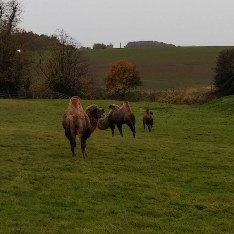 Camels spotted on the way back down the A66