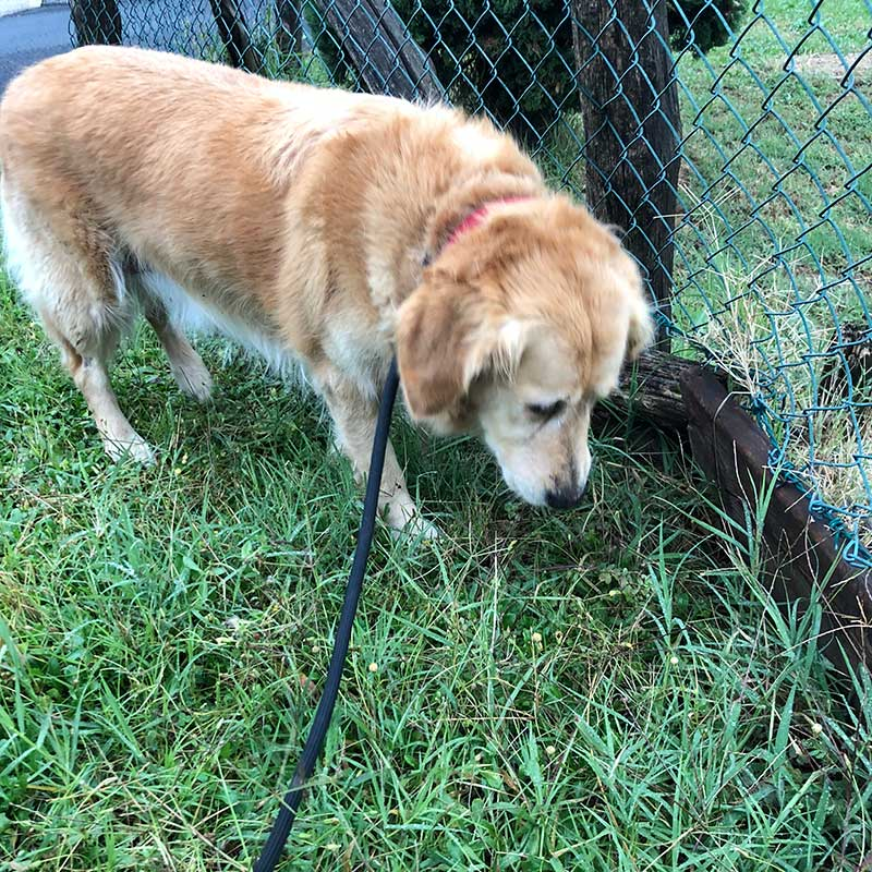 Like many Goldens, Baloo loves to forage