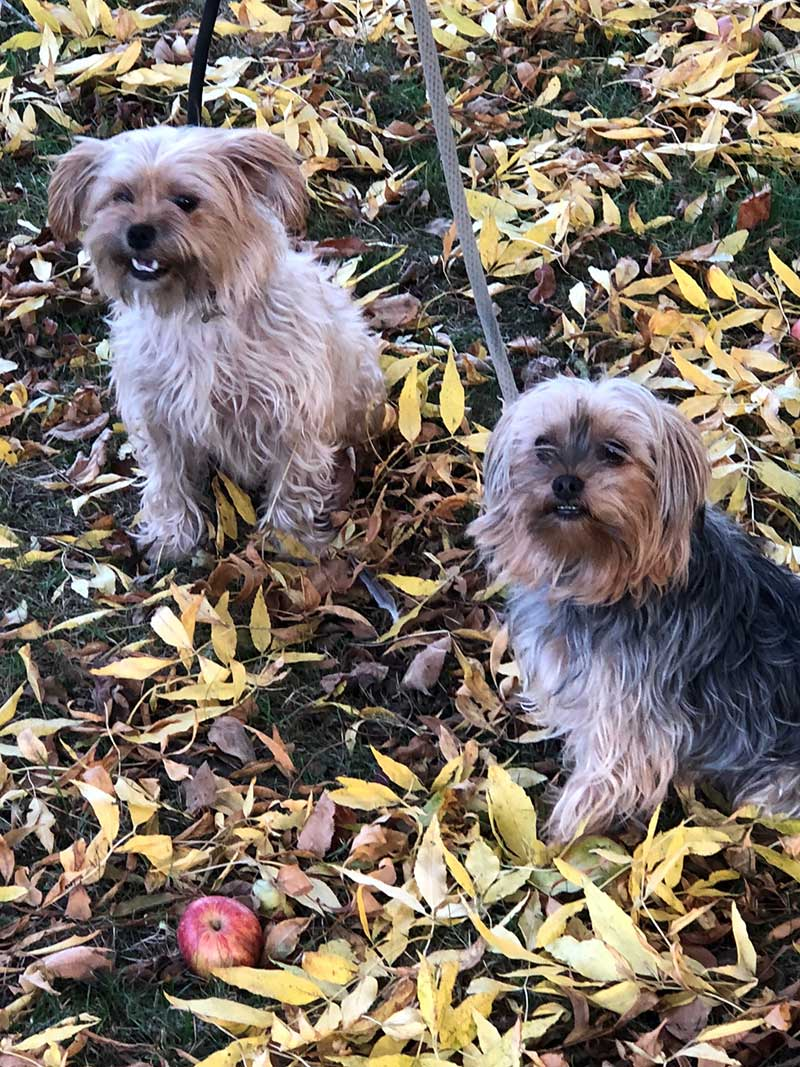 Tyson and Lacey having fun in the leaves. They also love to scamper around tying us in knots with their leads!