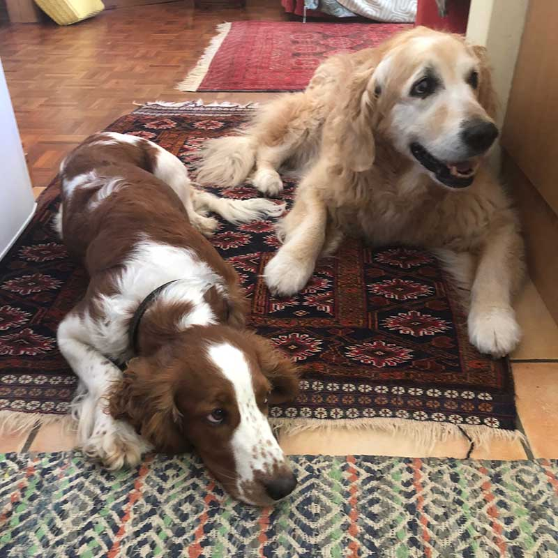 Kanga made herself very much at home. Here she is waiting with resident Golden Retriever Amber for post-lunch treats.