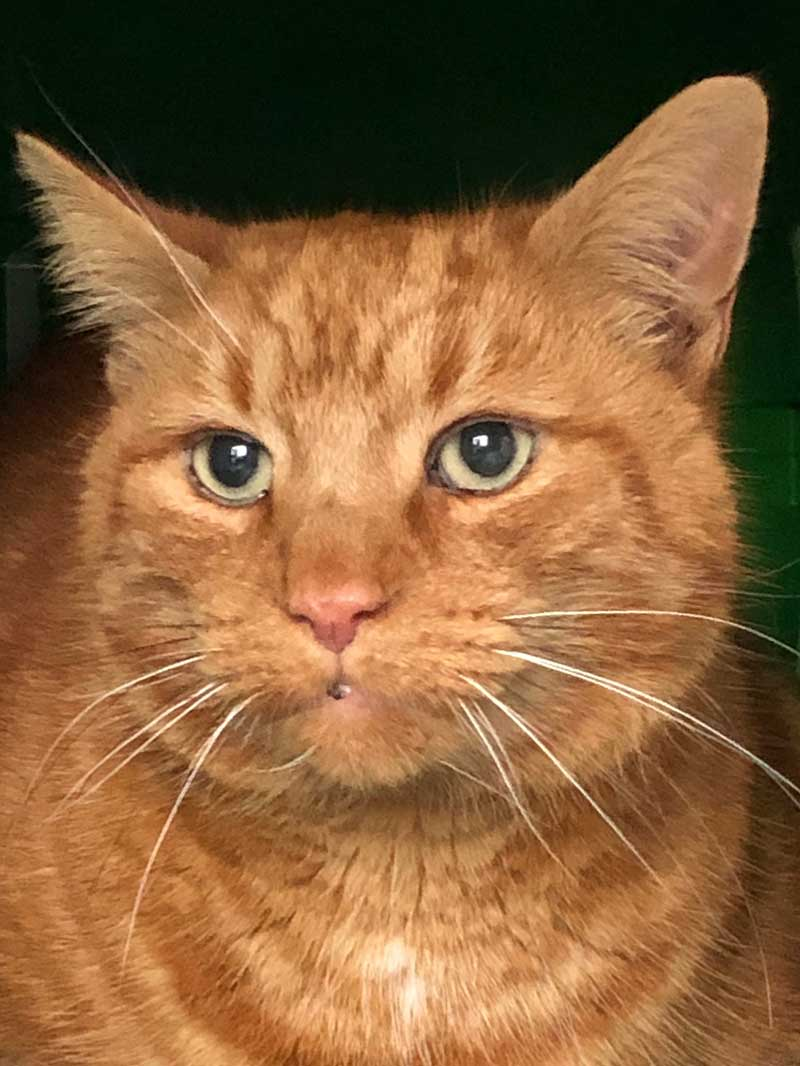 Adorable ginger tabby Raphel
