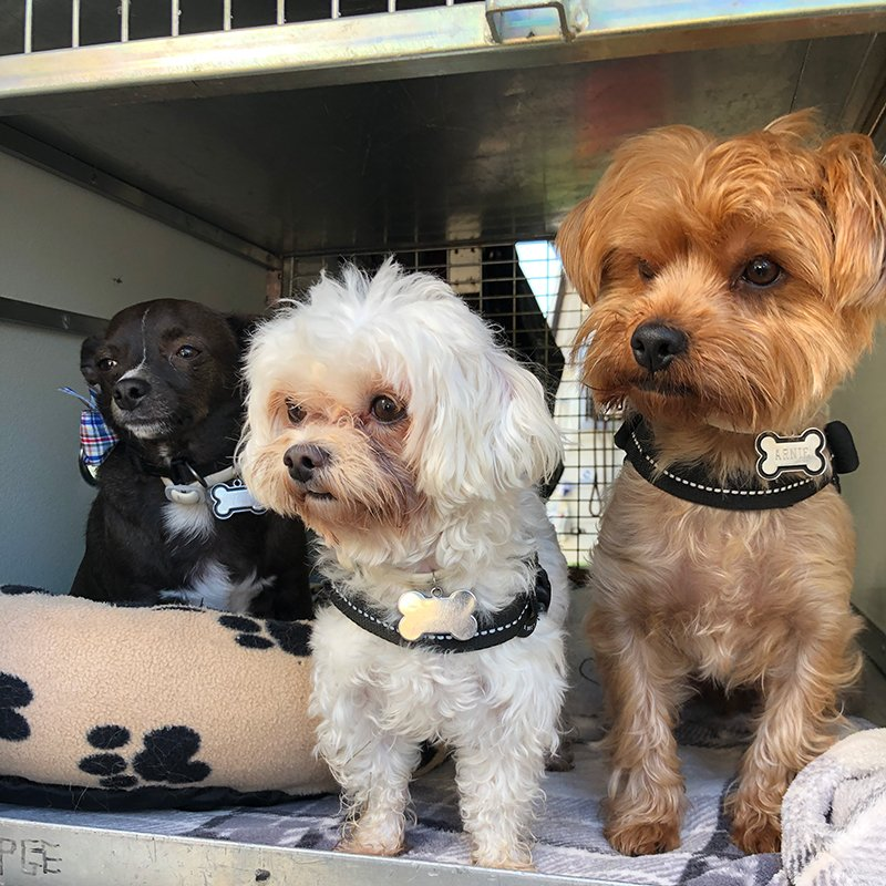 L to R: Chihuahua Tyson, Bichon Maltese cross Rocky, and Yorkie Arnie