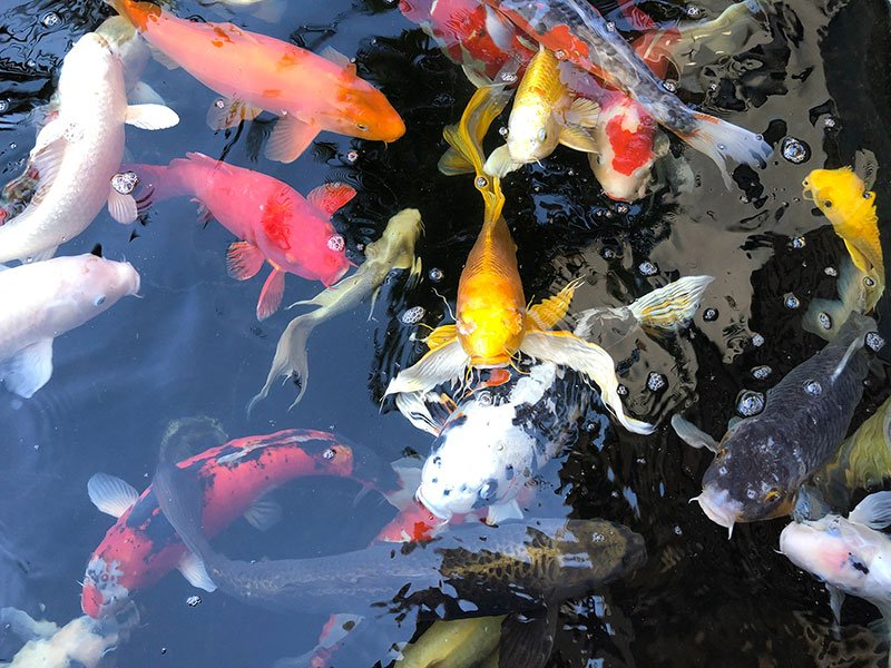 Very beautiful Koi carp in the pond at the front door