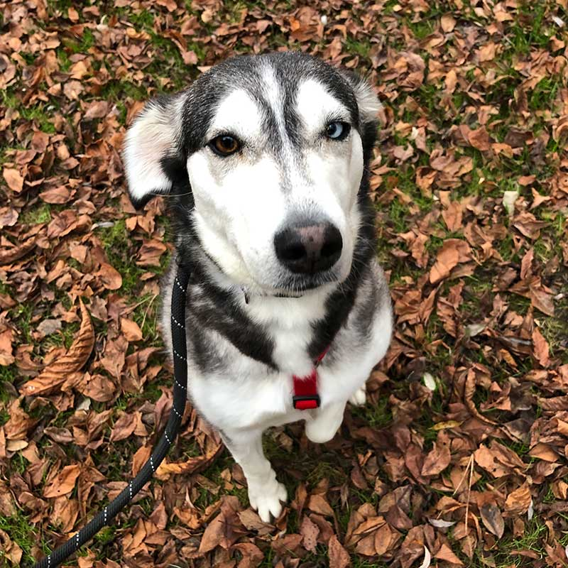 Lovely Lucy has typical Husky eyes — one brown and one blue