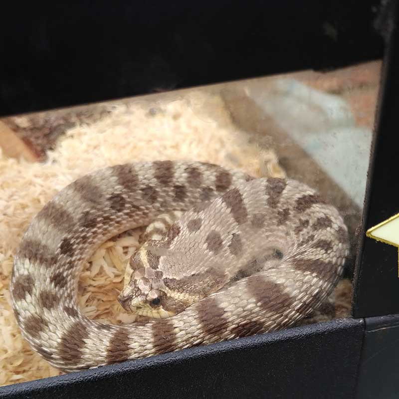 The Hound, who had recently shed. Hognose Snakes are so called because of their upturned snouts. We're pleased to say they're also non-venomous!