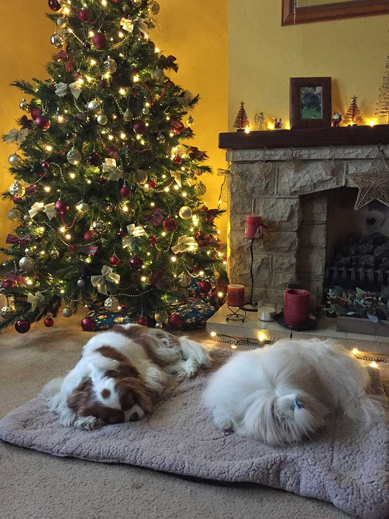 King Charles Cavalier Georgina and Coton de Tulear Matisse home boarded with us between Christmas and the New Year