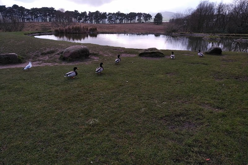 The resident ducks (plus interloper) at Tebay services in Cumbria