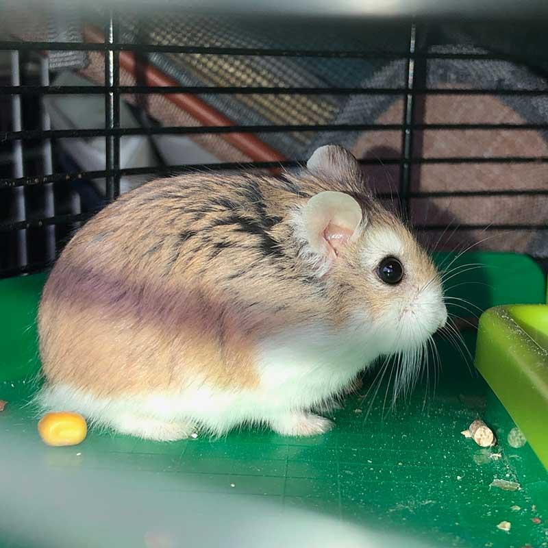 Adorable hamster, Caramel