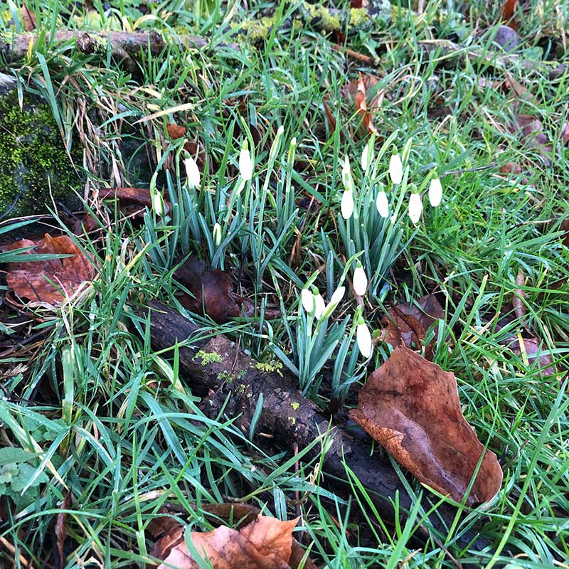 Signs of spring — snowdrops spotted as we walked dogs at Calais