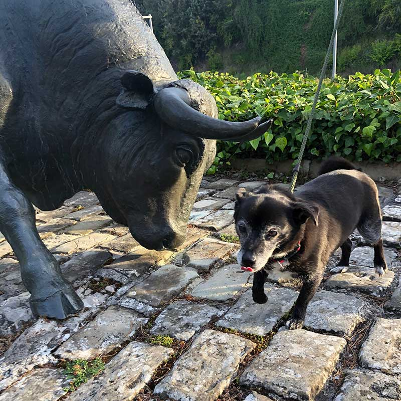 Ellie was quite unfazed by this enormous bull