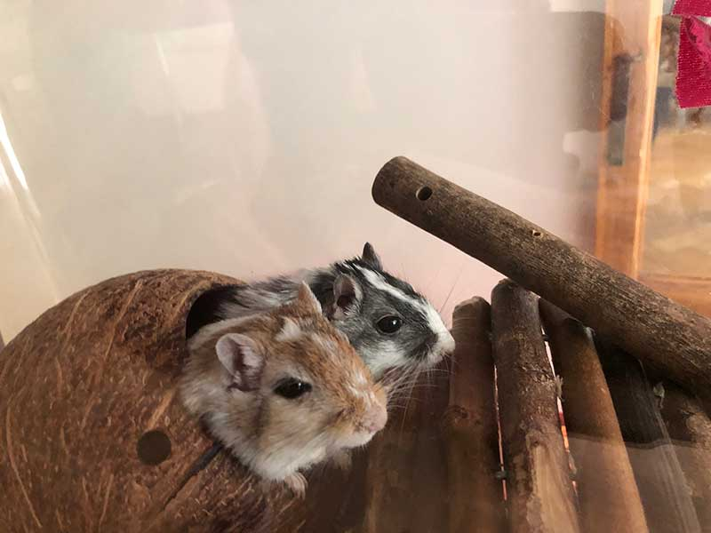 Two of the cheeky gerbils