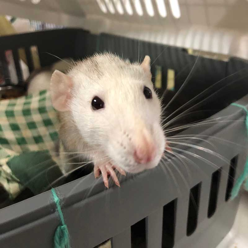 What an irresistible little ratty face!