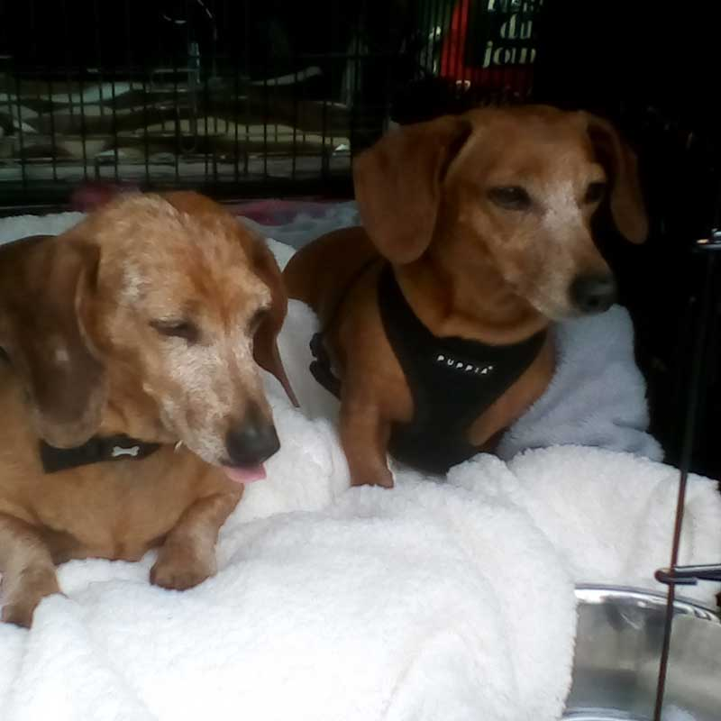 Handsome hounds Georgie and Leo en route with courier Paul to Cap Ferrat