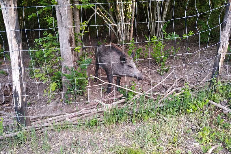 Here's what they were looking at — a boar born and living in the wild, for whom the family running the Chaumont hotel puts out scraps. So it's a regular visitor to the boundary fence these days!