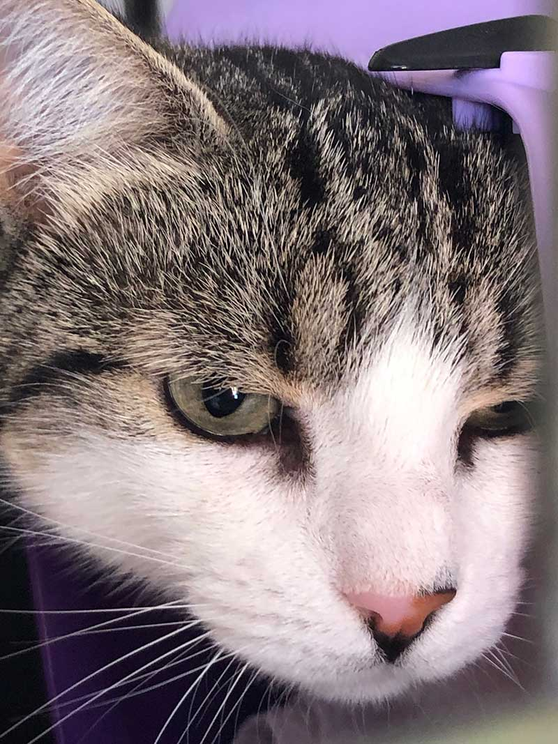 Gorgeous tabby and white Prisca