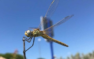 When we stopped for lunch, dragonflies made enthralling watching for Cleo