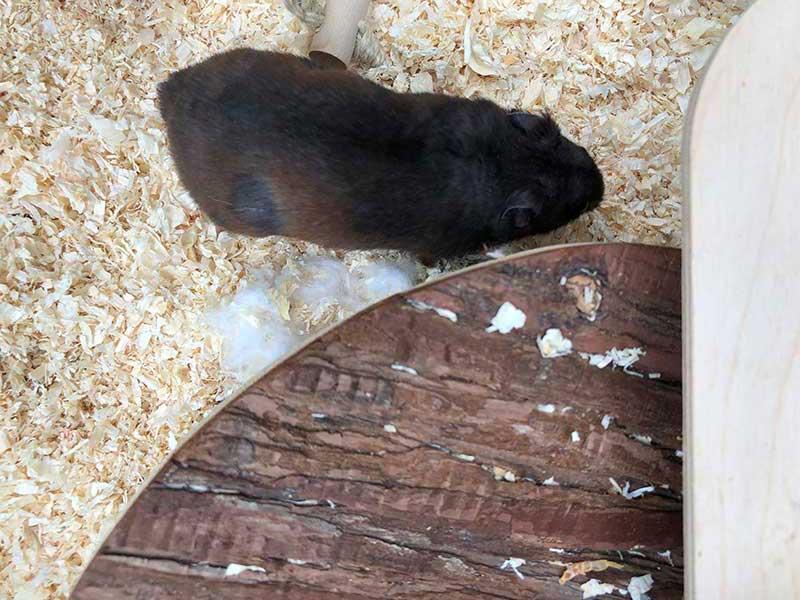 Ham-Ham has a splendid dark brown coat
