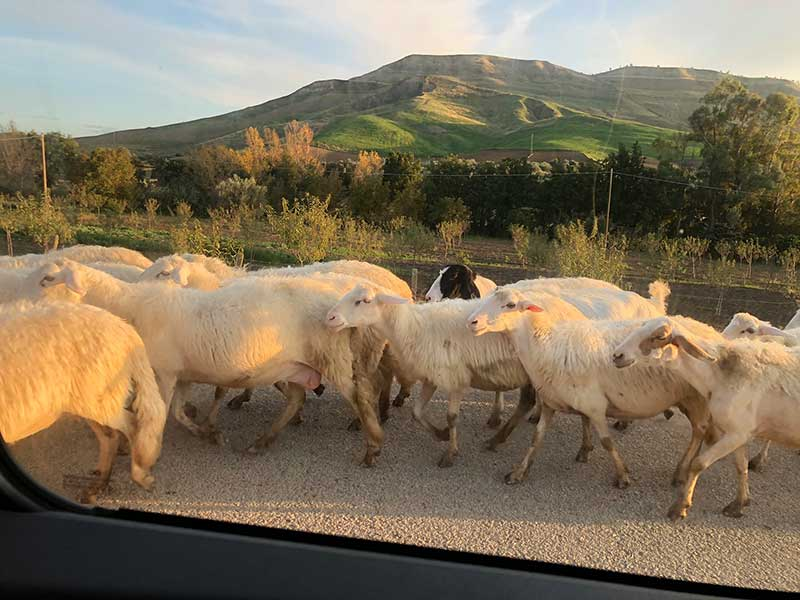 Spotted along the way: a herd of sheep in the charge of six Maremma sheepdogs and two venerable shepherds