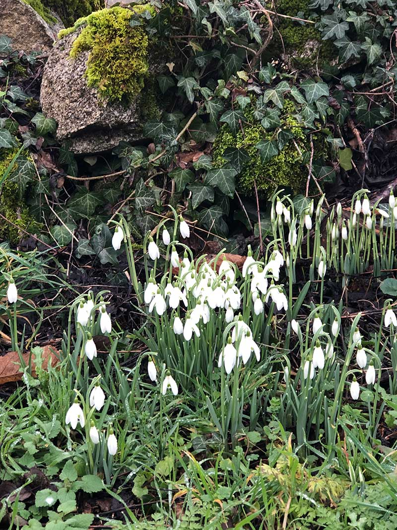 Snowdrops! A sure sign that spring is just around the corner