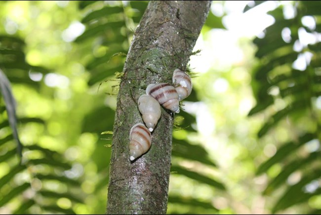 Snails: So here's what Partula Snails look like (image from Edinburgh Zoo)