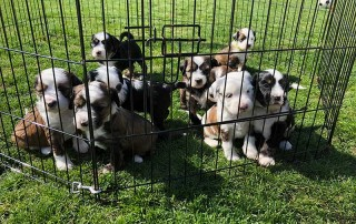 The litter of splendid Tibetan Terrier puppies