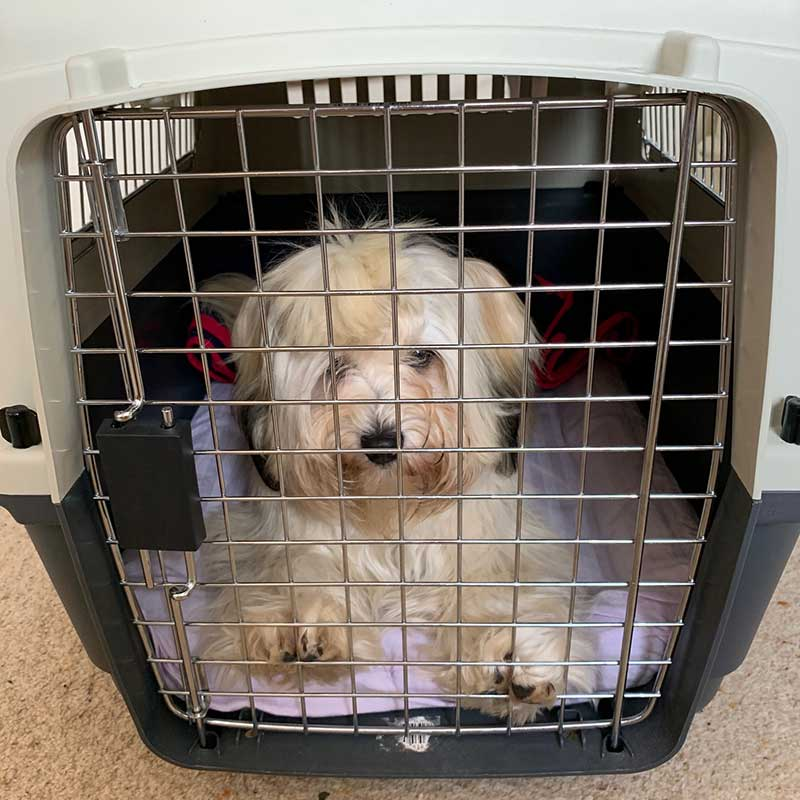 Here's adorable Havanese Bailey, getting used to her travel box before flying