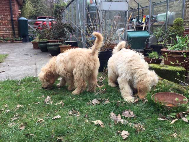 Beau and Rizo, lively young Goldendoodle brothers, homeboarded with Animalcouriers while their paperwork was finalised