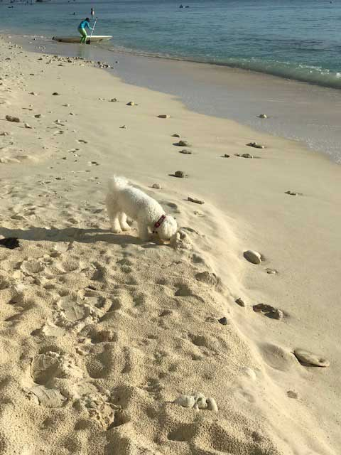 Another frequent flyer — beautiful Bichon Frise Simba, back to her beach walks on Cayman