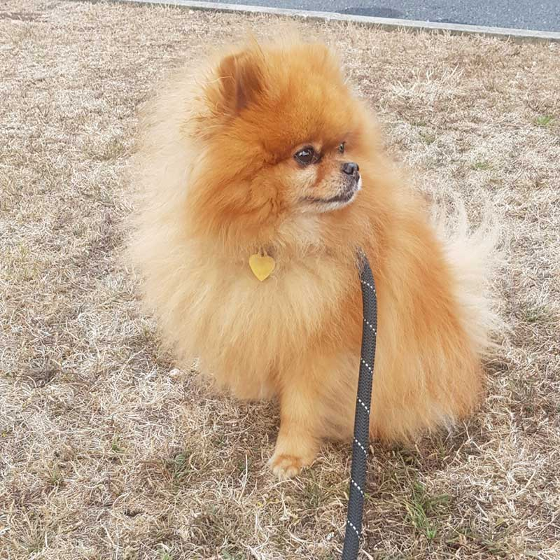 Dear Pompom, a Pomeranian, travelled with his chums Laska and Cassius from Hertfordshire to Catalonia, where Nicole was waiting