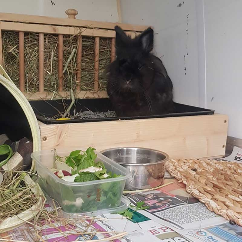 Midi is a splendid Toy Black Lionhead rabbit, who relocated with us from London to Girona to rejoin owner Alexandra