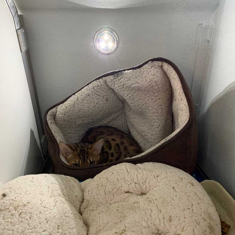 Delightful Bengal cat Zusski made the journey with us from London to the Algarve