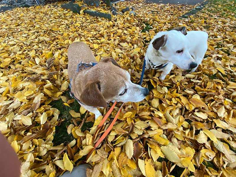 reuniting dogs : Our charges Ollie and Joe enjoyed a morning walk in the crackle of autumn leaves