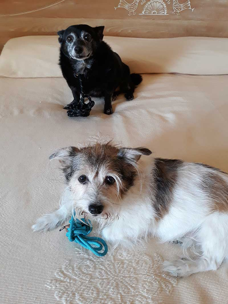 pet transport news : Tia behind, Millie in front, enjoying hotel life with courier Paul