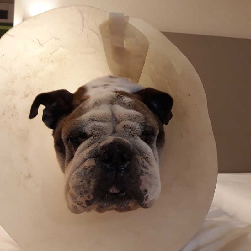 Poor chap temporarily sporting a 'cone of shame' to help with a few minor issues