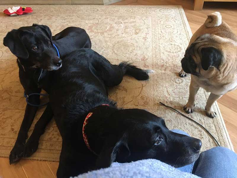 14 gorgeous dogs : Maya and Goofy getting to know their pug sibling in Berkshire