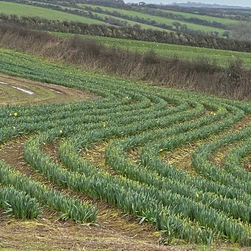 We passed fields of daffodils along the way, including this one full of curved rows