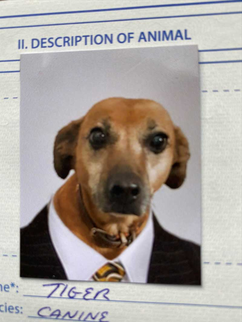 post-Brexit pet travellers: We loved the dogs' pet passport photos! Here's handsome Tiger...