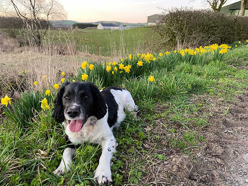 """Otto looking very at home in his beautiful Scottish surroundings. Owner Maria, who sent the photo, says: """"He has already flushed four pheasants so very happy. Thank you to your team."""""""