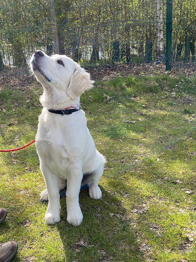 Gorgeous Ruaridh, a Golden Retriever puppy, travelled with us from France to Scotland. Curiously enough, lemon drizzle cake rendered him super obedient!