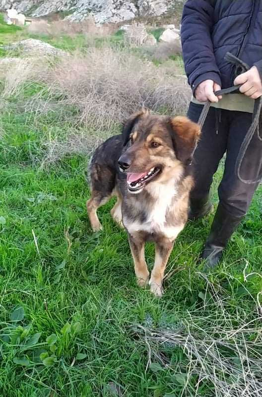 Stunning Gordon, a recent arrival at the shelter, found tied to the fence one morning. A smart, loyal and social character.