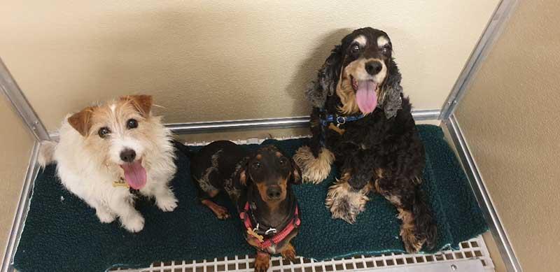 Jack Russell Jasiu, Dachshund Archie and Cocker Spaniel Suzia