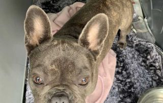 Veronika's dear French Bulldog Winnie travelled with us from London to Millstatt in Austria