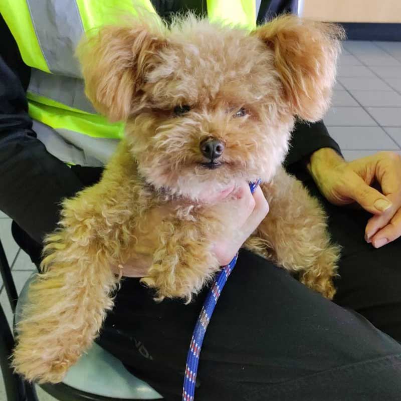 This is dear little Burger, whose journey from Hong Kong took him all the way to Dublin. Here he is sitting on courier Trevor's knee at the port, waiting for their ferry to Ireland.